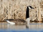 Game Commission Could Relax Goose Measures